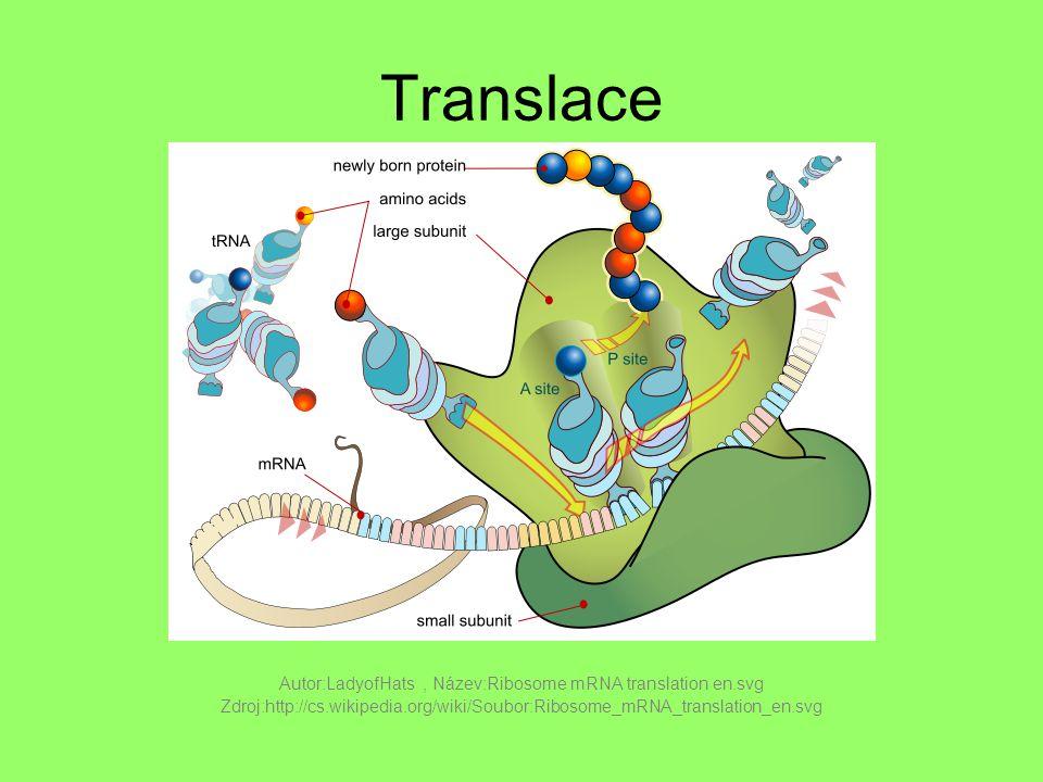 Translace Autor:LadyofHats, Název:Ribosome mRNA translation en.svg Zdroj:http://cs.wikipedia.org/wiki/Soubor:Ribosome_mRNA_translation_en.svg