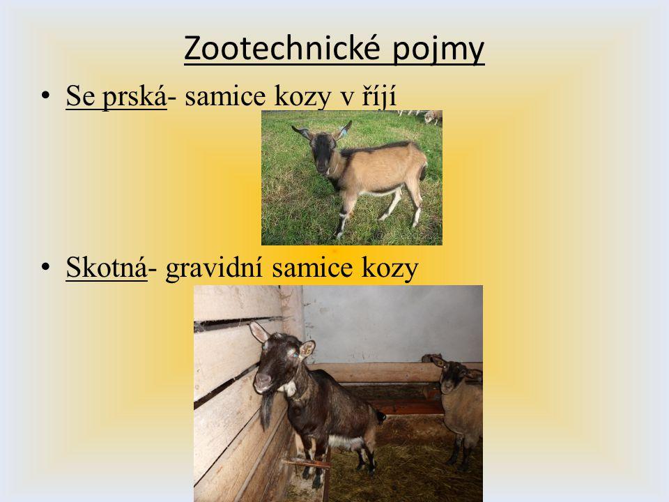 Zootechnické pojmy S e prská- samice kozy v říjí S kotná- gravidní samice kozy