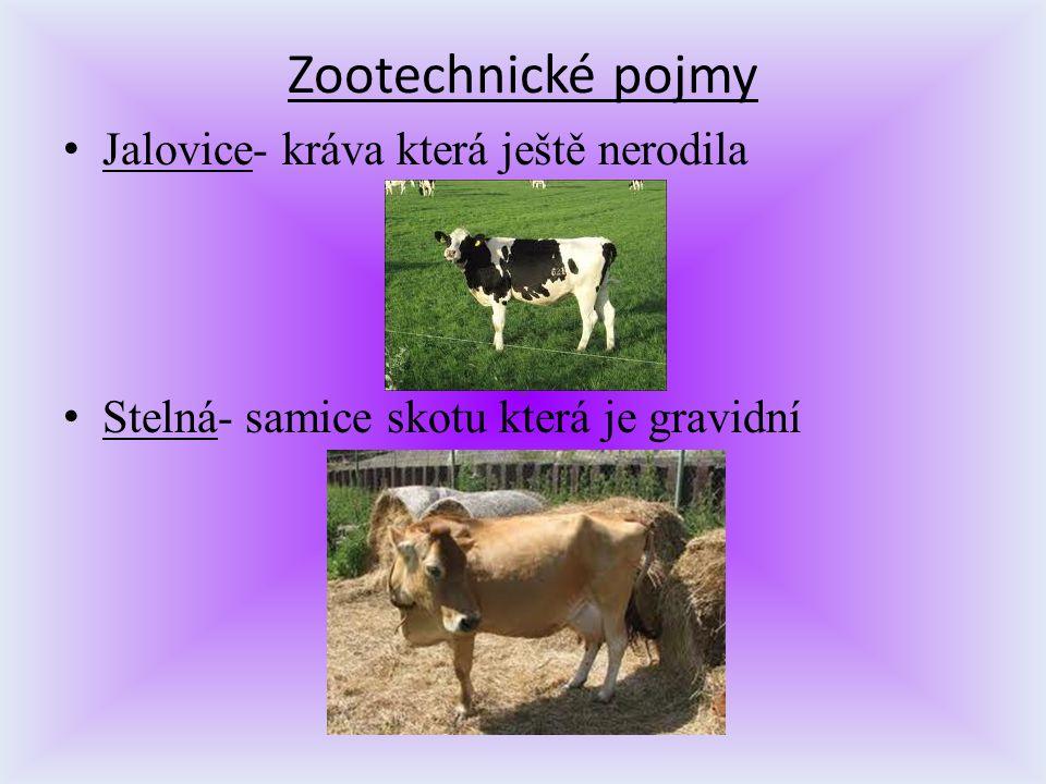Jalovice- kráva která ještě nerodila Stelná- samice skotu která je gravidní