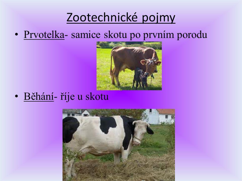 Zootechnické pojmy Prvotelka- samice skotu po prvním porodu Běhání- říje u skotu