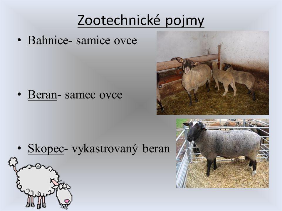 Zootechnické pojmy Bahnice- samice ovce Beran- samec ovce Skopec- vykastrovaný beran