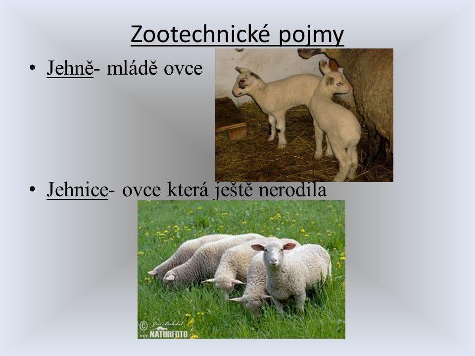 Zootechnické pojmy Jehně- mládě ovce Jehnice- ovce která ještě nerodila
