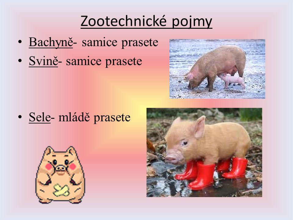 Zootechnické pojmy Bachyně- samice prasete Svině- samice prasete Sele- mládě prasete