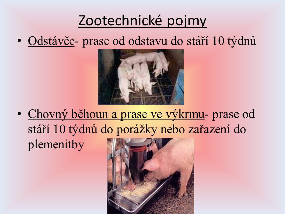 Zootechnické pojmy Odstávče- prase od odstavu do stáří 10 týdnů Chovný běhoun a prase ve výkrmu- prase od stáří 10 týdnů do porážky nebo zařazení do p