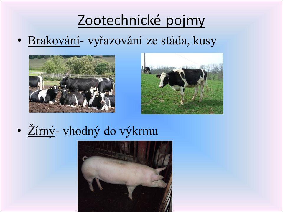 Zootechnické pojmy Brakování- vyřazování ze stáda, kusy Žírný- vhodný do výkrmu