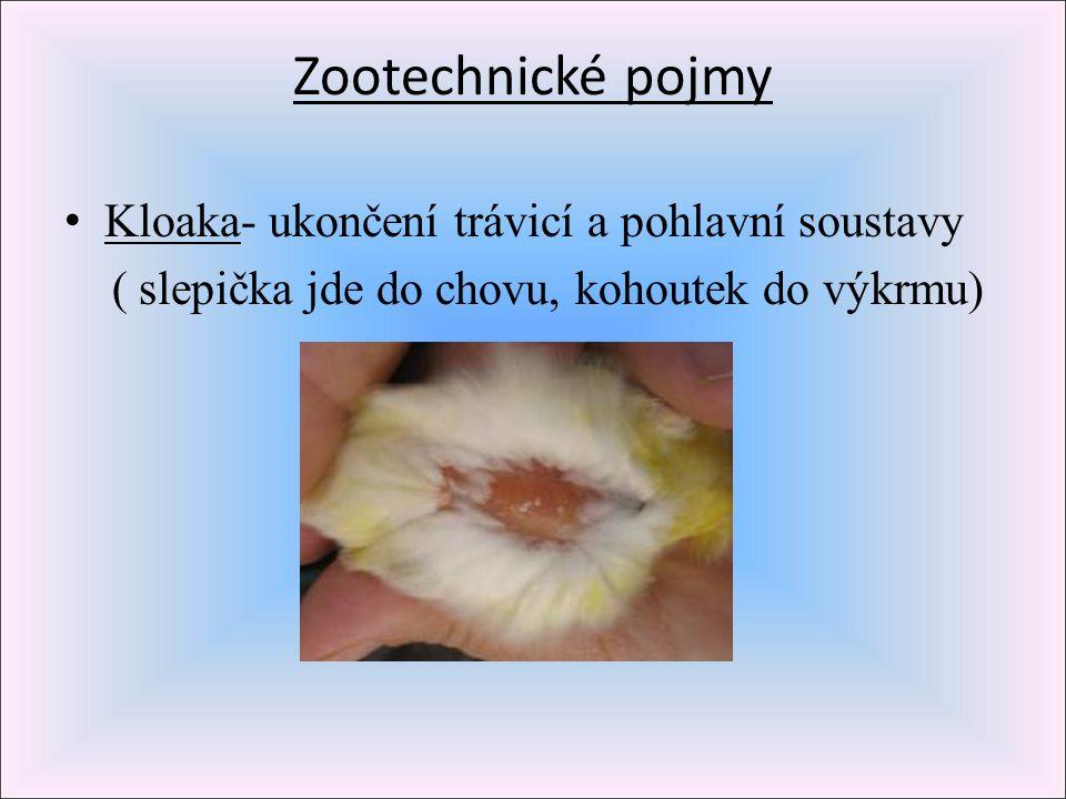 Zootechnické pojmy Kloaka- ukončení trávicí a pohlavní soustavy ( slepička jde do chovu, kohoutek do výkrmu)