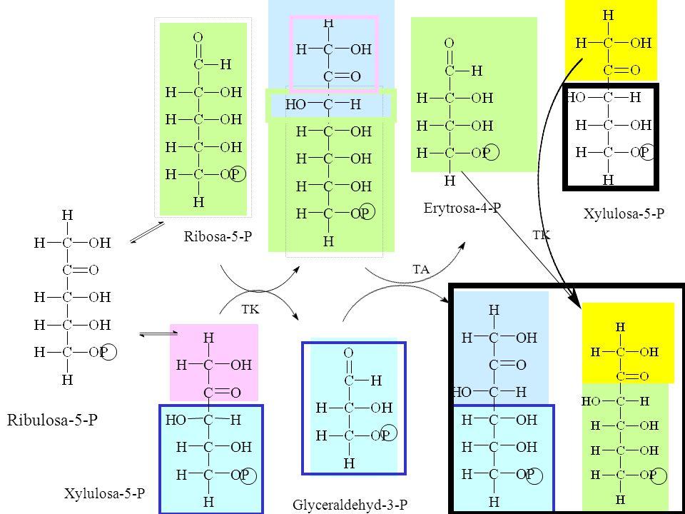 15 H C C C C C C H OH OH OP O H H H H C O OH H H OHH Ribulosa-5-P Ribosa-5-P Xylulosa-5-P Erytrosa-4-P Glyceraldehyd-3-P TK TA TK Xylulosa-5-P H C C C