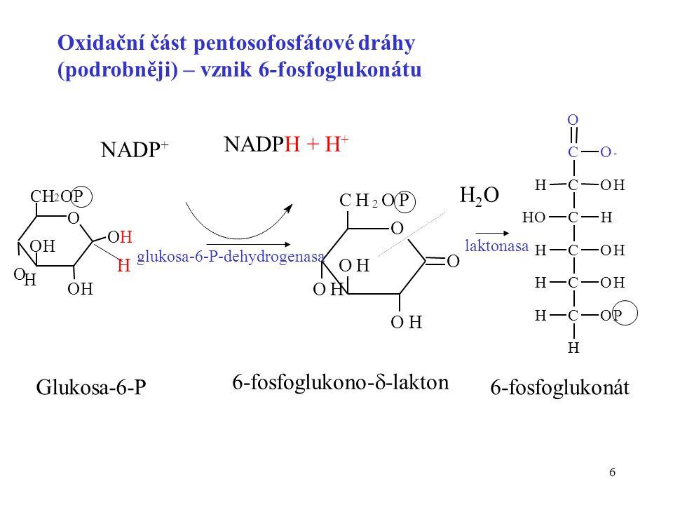 7 C O O - C C C C C OH H OH OH OP H HO H H H H H C C C C C OH OH OH OP H H H H H O NADP + NADPH + H + CO 2 6-fosfoglukonátribulosa-5-P Ziskem oxidační větve pentosového cyklu jsou 2 moly NADPH a pentosa fosfát Oxidační část pentosofosfátové dráhy (podrobněji) – přeměna 6-fosfoglukonátu 6-phosphoglukonátdehydrogenasa
