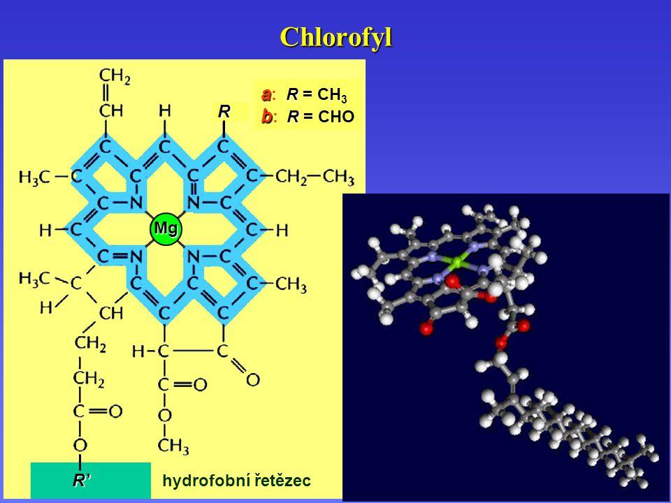 Chlorofyl R ' R ' R ' R ' R Mg hydrofobní řetězec a R a : R = CH 3 b R b : R = CHO