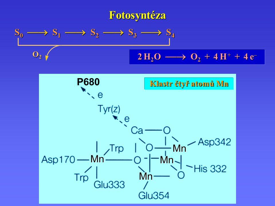 P680 MnMnMn Mn Fotosyntéza 2 H2O  O2 + 4 H + + 4 e– S 0  S 1  S 2  S 3  S 4 O2O2O2O2 Klastr čtyř atomů Mn