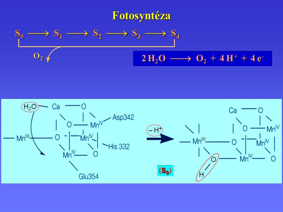 Fotosyntéza 2 H 2 O  O 2 + 4 H + + 4 e – S 0  S 1  S 2  S 3  S 4 O2O2O2O2 S0 (S0 )S0 (S0 ) III – H+– H+ H O H2OH2O