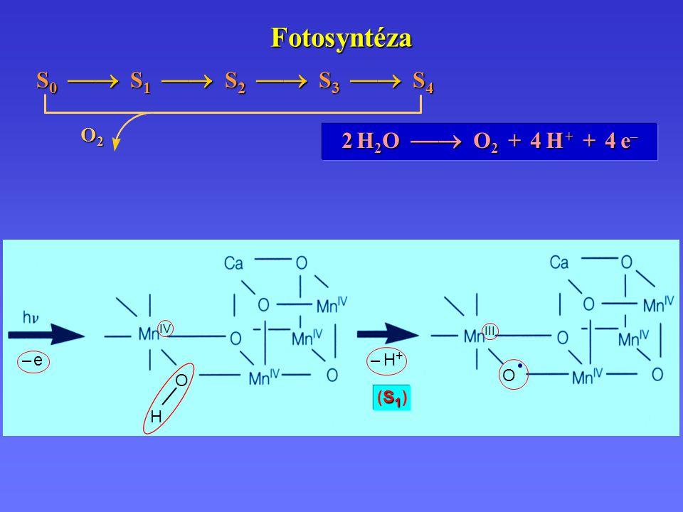 S1 (S1 )S1 (S1 ) – e– e – H+– H+ IV H O O Fotosyntéza 2 H 2 O  O 2 + 4 H + + 4 e – S 0  S 1  S 2  S 3  S 4 O2O2O2O2