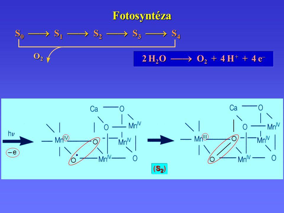 S2 (S2 )S2 (S2 ) III – e– e IV O O O O Fotosyntéza 2 H 2 O  O 2 + 4 H + + 4 e – S 0  S 1  S 2  S 3  S 4 O2O2O2O2