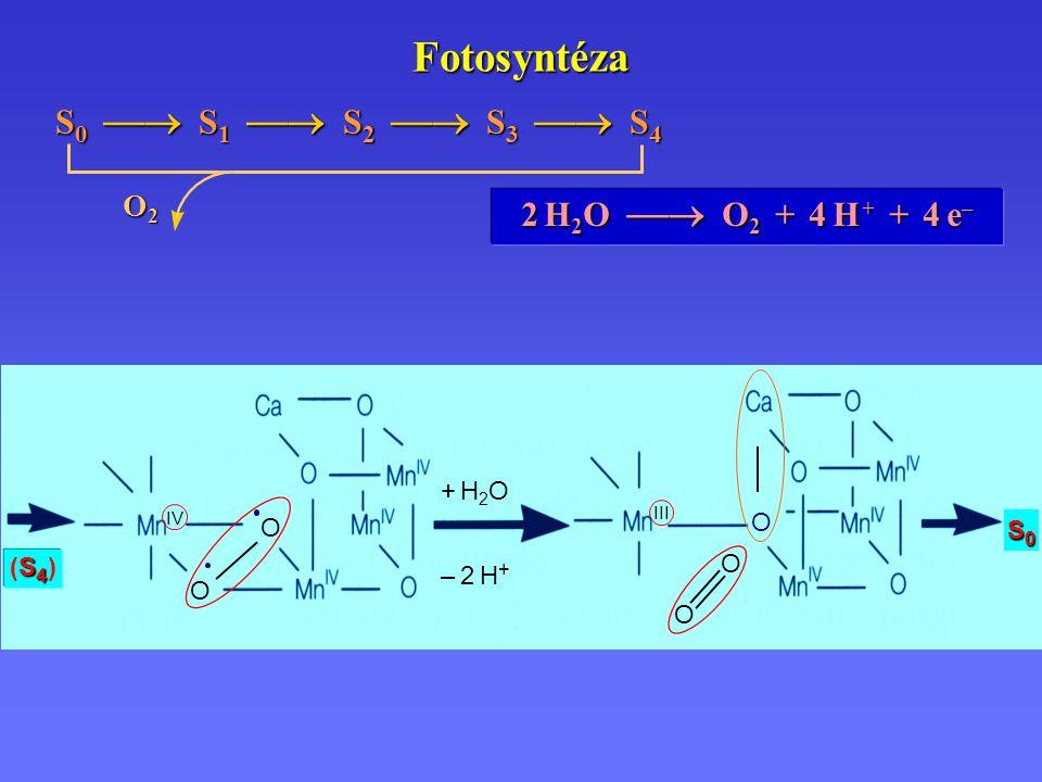 Fotosyntéza 2 H 2 O  O 2 + 4 H + + 4 e – S 0  S 1  S 2  S 3  S 4 O2O2O2O2 III – 2 H+– 2 H+ IV O O S4 (S4 )S4 (S4 ) S0S0S0S0 + H2O+ H2O O O O