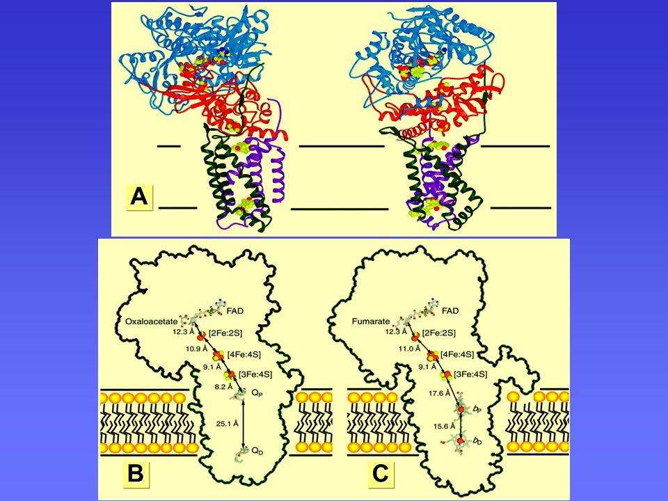 Transport elektronu přes ferredoxin A BC