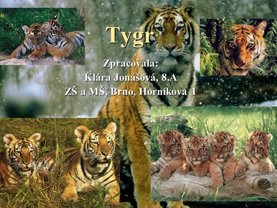Obsah  Tygr bengálský Tygr bengálský Tygr bengálský  Stavy Stavy  Tygr bílý Tygr bílý Tygr bílý  Tygr ussurijský Tygr ussurijský Tygr ussurijský  Tygr sumaterský Tygr sumaterský Tygr sumaterský  Šavlozubý tygr Šavlozubý tygr Šavlozubý tygr  Charakteristika tygrů Charakteristika tygrů Charakteristika tygrů  Vyhynulé druhy Vyhynulé druhy Vyhynulé druhy  Obchod s tygří kůží Obchod s tygří kůží Obchod s tygří kůží  Tygří rezervace Tygří rezervace Tygří rezervaceZávěr Použité informační zdroje