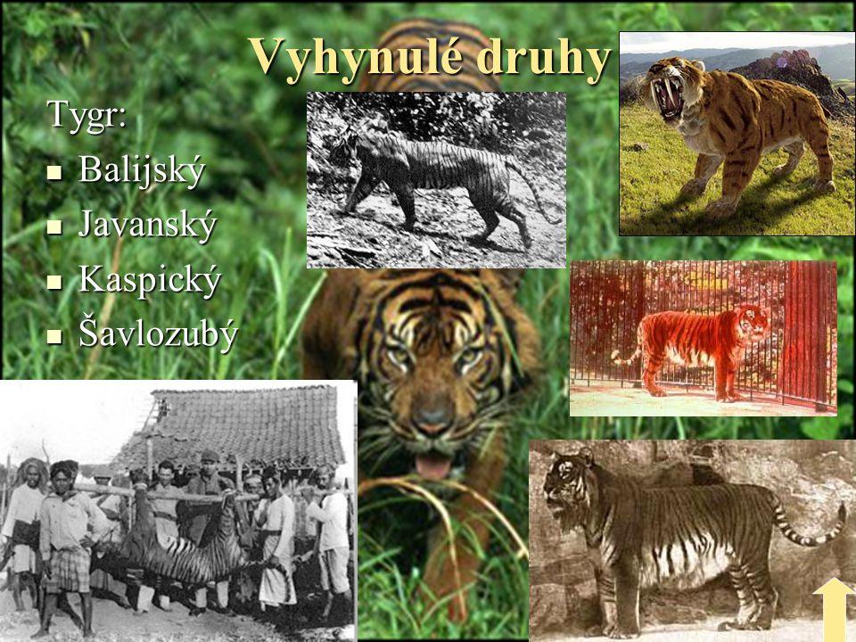 Obchod s tygří kůží  Obchod s tygří kůží je zakázán je zakázán  Černé trhy  Kůže je velice drahá díky výraznému díky výraznému pruhování pruhování