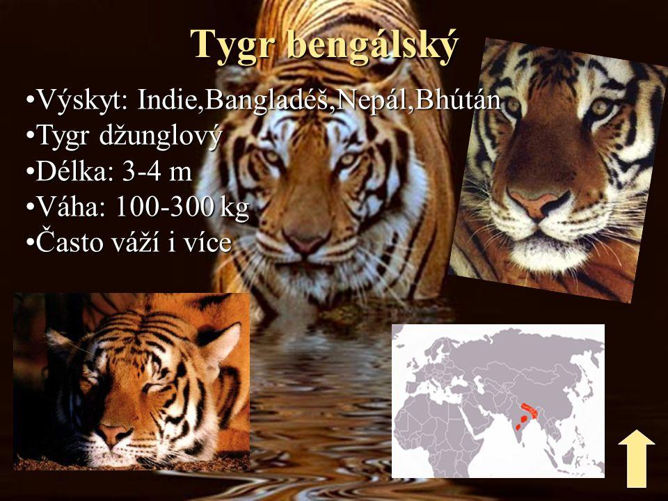 Stavy tygra bengálského