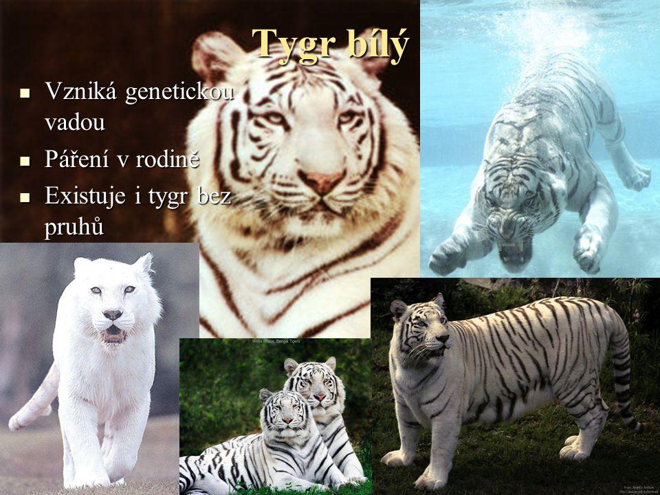 Tygr ussurijský  Výskyt: východní Rusko  Délka: 2 – 3,3 m  Váha: 100 – 300 kg  Největší kočkovitá šelma