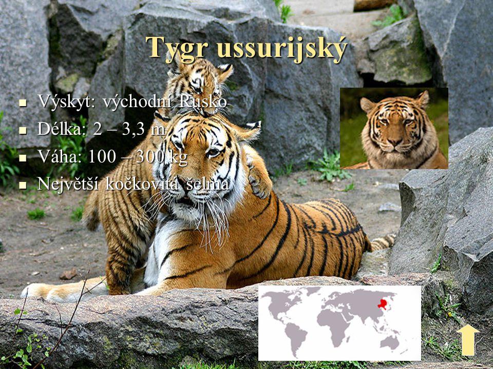 Tygr sumaterský  Výskyt: ostrov Sumatra  Délka: 1,4 – 2,6 m  Váha: 115 – 180 kg  Nejmenší tygr