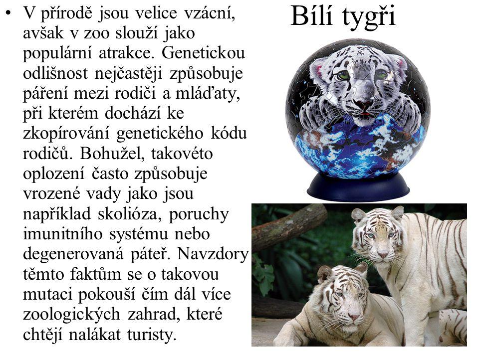 Bílí tygři •V přírodě jsou velice vzácní, avšak v zoo slouží jako populární atrakce. Genetickou odlišnost nejčastěji způsobuje páření mezi rodiči a ml