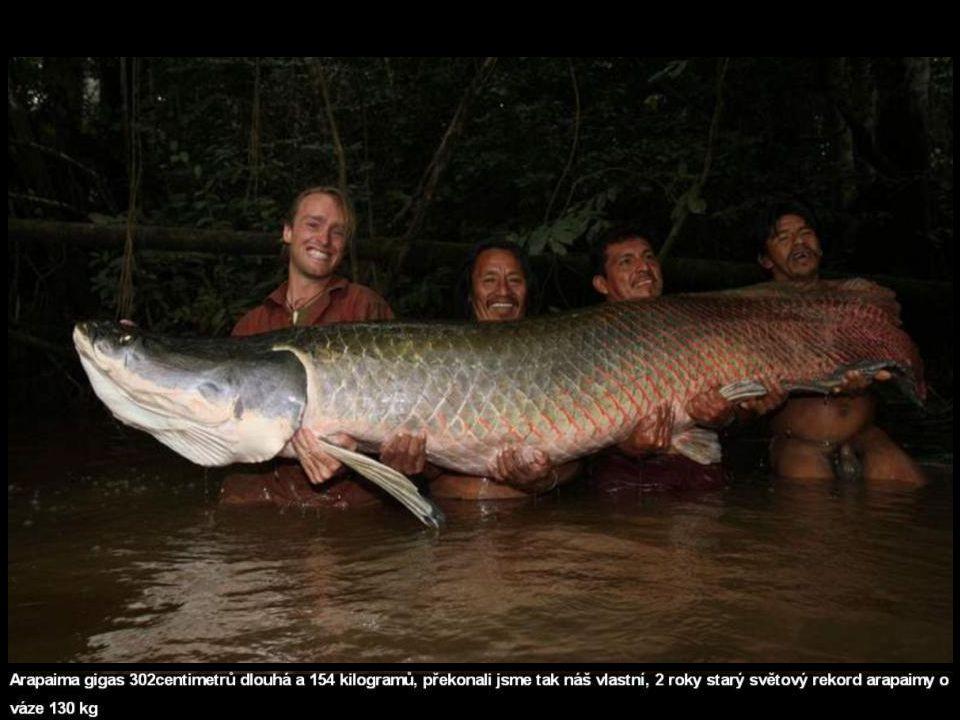 ARAPAIMA VELKÁ Arapaima velká patří mezi největší sladkovodní ryby světa.