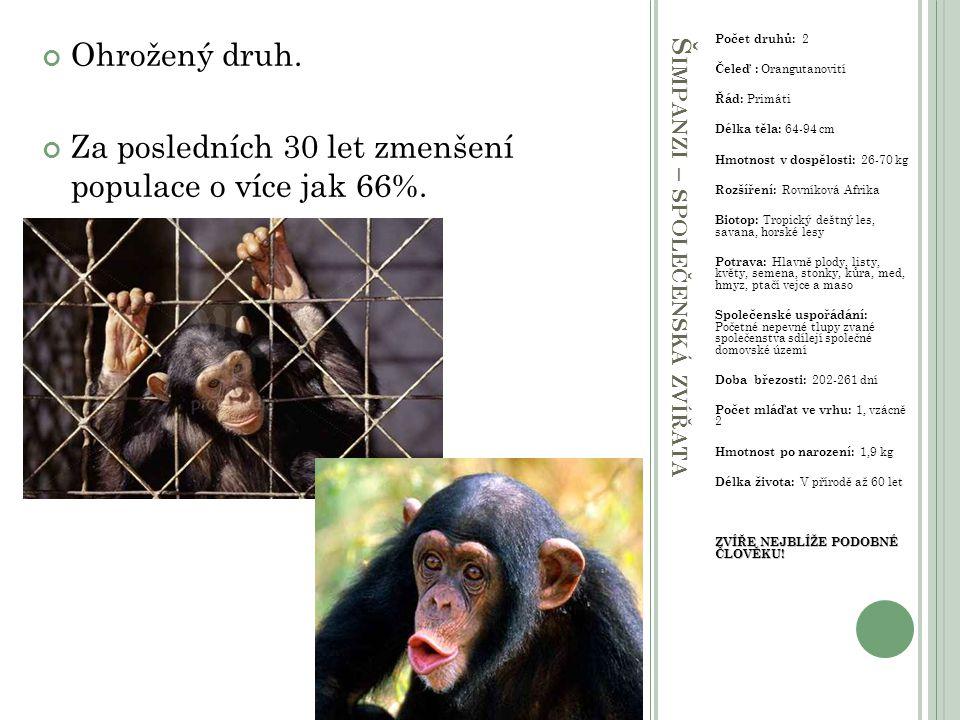 Š IMPANZI – SPOLEČENSKÁ ZVÍŘATA Počet druhů: 2 Čeleď : Orangutanovití Řád: Primáti Délka těla: 64-94 cm Hmotnost v dospělosti: 26-70 kg Rozšíření: Rov