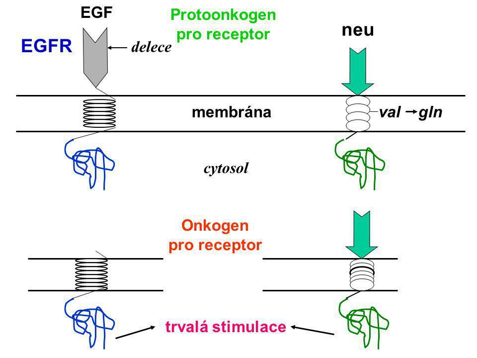 Genotoxický stres UV-záření Poškození DNA p53 ARF Apaf-1 Bax p53 MDM2 p21 CIP Bcl-2 c-Myc CyklinD1 CDK4 Cyklin E CDK2 E2F MDM2 pRb P P P UbUb Degradac