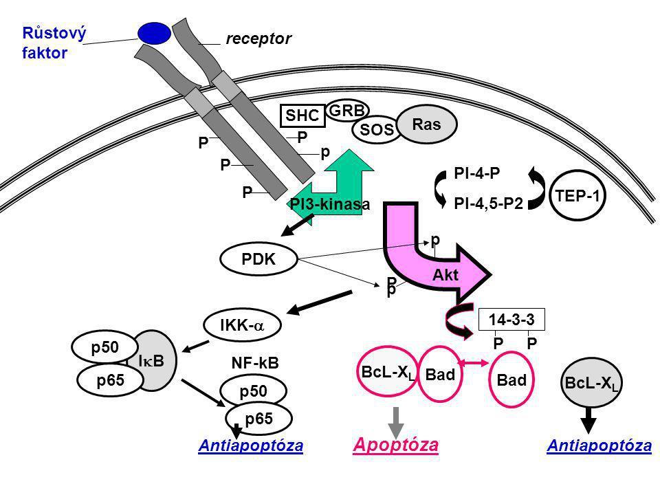 membrána cytosol neu EGF delece val gln Protoonkogen pro receptor Onkogen pro receptor EGFR trvalá stimulace
