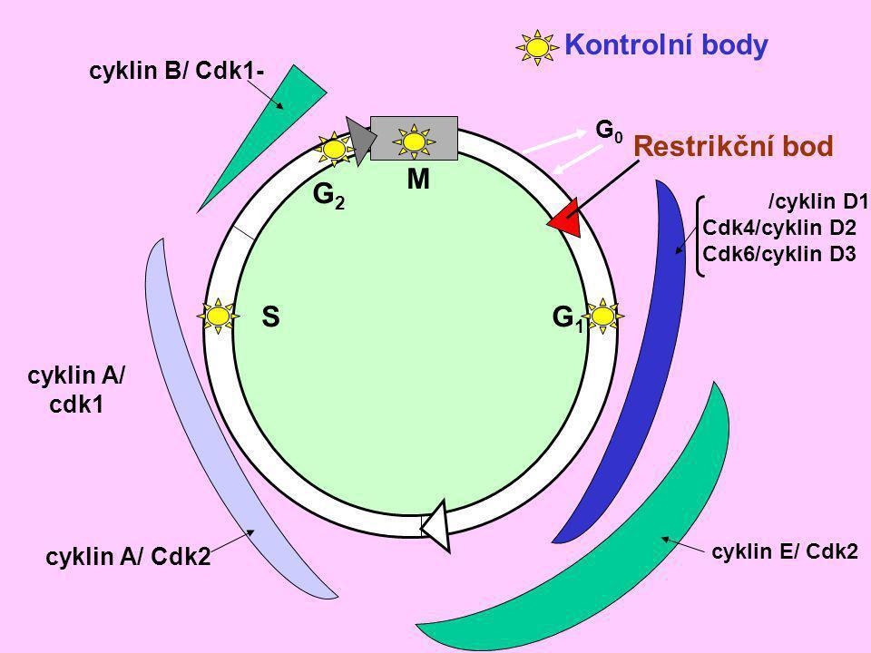 Cdk1 (konc.) Cyklin (konc.) Cdk1 aktivita S M S M-fáze