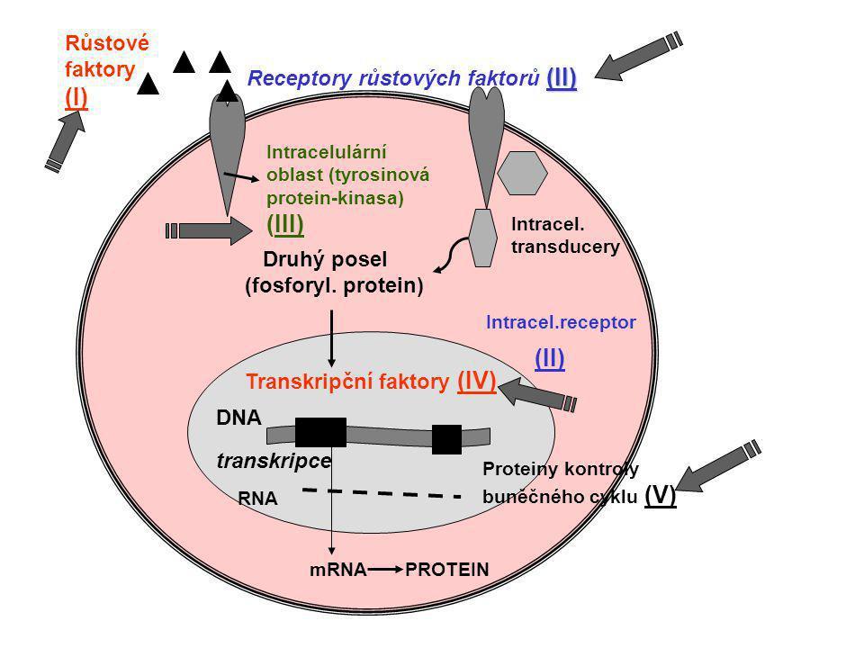 Růstové fakt. PDGF (c-sis) FGF- like (c-int2) Receptory růst. f. tyrosin-kinasy c-erb , c-fms, c-ret c-ros, c-kit, c-nue Membr. nerecept. tyrosin-kin