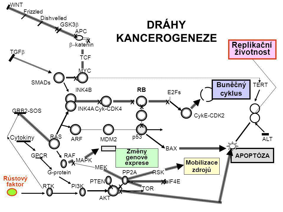 Růstové faktory (I) (II) Receptory růstových faktorů (II) Intracelulární oblast (tyrosinová protein-kinasa) (III) Intracel. transducery Druhý posel (f