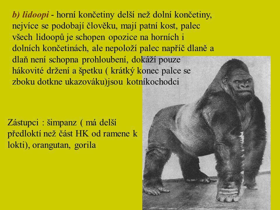 b) lidoopi - horní končetiny delší než dolní končetiny, nejvíce se podobají člověku, mají patní kost, palec všech lidoopů je schopen opozice na horníc