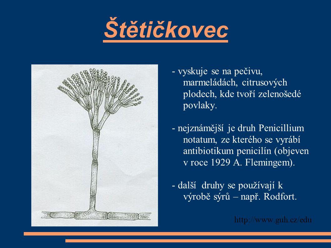 Štětičkovec - vyskuje se na pečivu, marmeládách, citrusových plodech, kde tvoří zelenošedé povlaky. - nejznámější je druh Penicillium notatum, ze kter