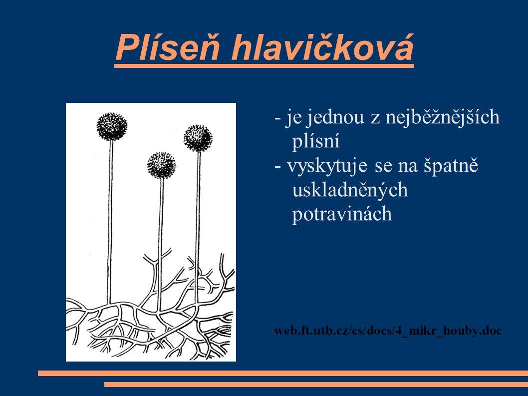 Plíseň hlavičková - je jednou z nejběžnějších plísní - vyskytuje se na špatně uskladněných potravinách web.ft.utb.cz/cs/docs/4_mikr_houby.doc