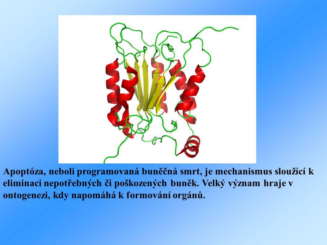OBRÁZEK KASPAZY Apoptóza, neboli programovaná buněčná smrt, je mechanismus sloužící k eliminaci nepotřebných či poškozených buněk. Velký význam hraje