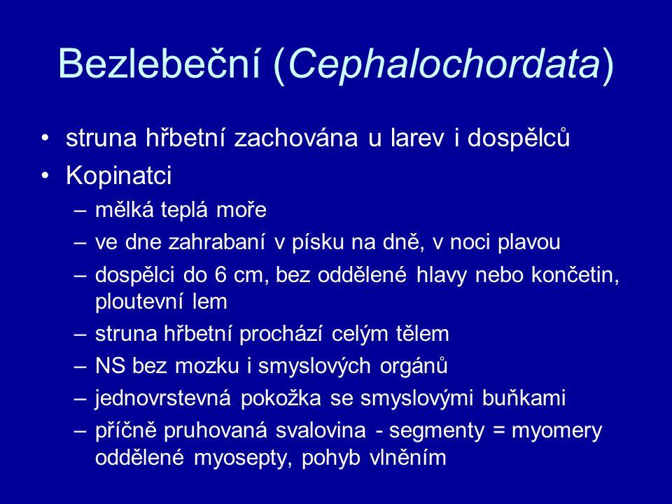 Bezlebeční (Cephalochordata) •struna hřbetní zachována u larev i dospělců •Kopinatci –mělká teplá moře –ve dne zahrabaní v písku na dně, v noci plavou –dospělci do 6 cm, bez oddělené hlavy nebo končetin, ploutevní lem –struna hřbetní prochází celým tělem –NS bez mozku i smyslových orgánů –jednovrstevná pokožka se smyslovými buňkami –příčně pruhovaná svalovina - segmenty = myomery oddělené myosepty, pohyb vlněním