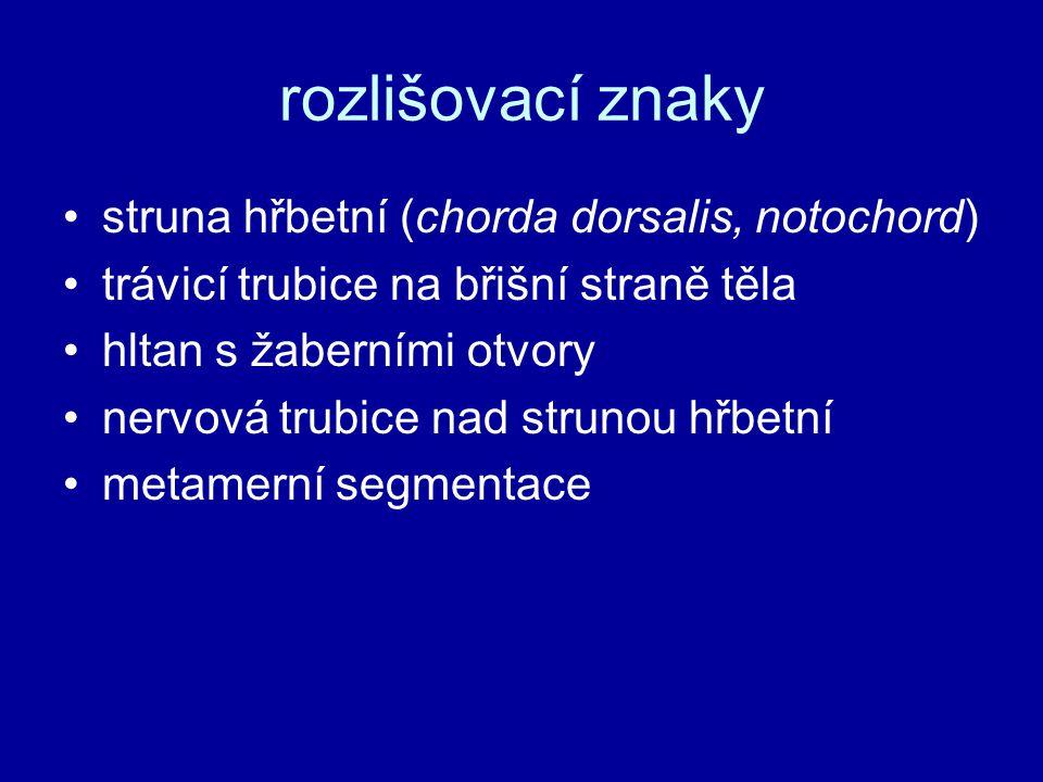 rozlišovací znaky •struna hřbetní (chorda dorsalis, notochord) •trávicí trubice na břišní straně těla •hltan s žaberními otvory •nervová trubice nad s