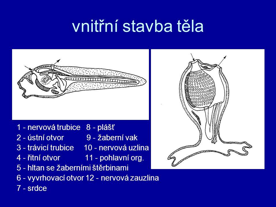 vnitřní stavba těla 1 - nervová trubice 8 - plášť 2 - ústní otvor 9 - žaberní vak 3 - trávicí trubice 10 - nervová uzlina 4 - řitní otvor 11 - pohlavní org.