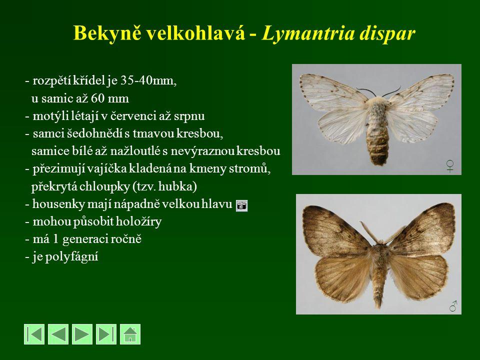 Bekyně velkohlavá - Lymantria dispar - rozpětí křídel je 35-40mm, u samic až 60 mm - motýli létají v červenci až srpnu - samci šedohnědí s tmavou kres