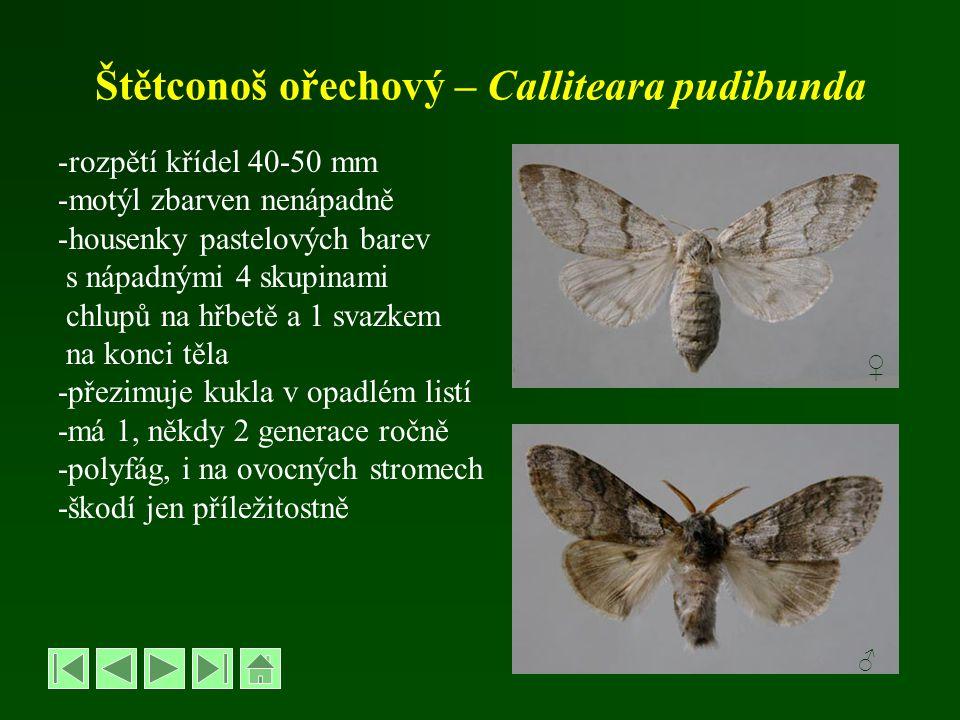 Štětconoš ořechový – Calliteara pudibunda -rozpětí křídel 40-50 mm -motýl zbarven nenápadně -housenky pastelových barev s nápadnými 4 skupinami chlupů