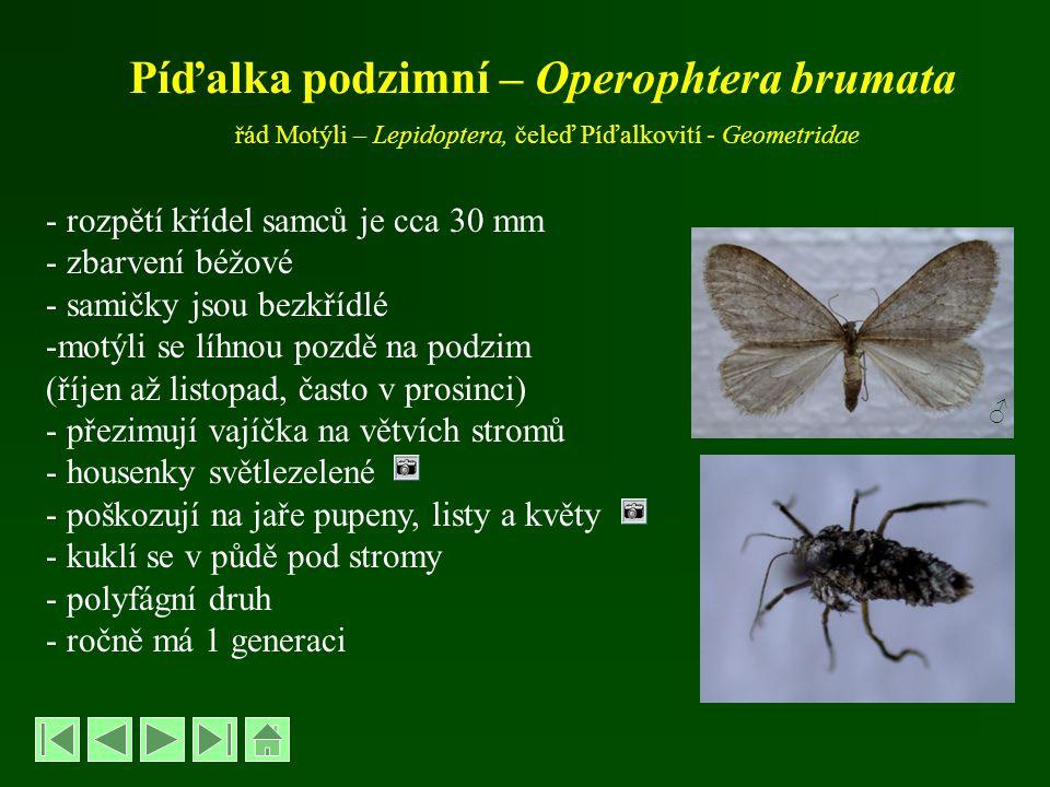 Píďalka podzimní – Operophtera brumata řád Motýli – Lepidoptera, čeleď Píďalkovití - Geometridae - rozpětí křídel samců je cca 30 mm - zbarvení béžové