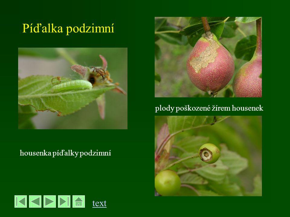 Píďalka podzimní plody poškozené žírem housenek housenka píďalky podzimní text