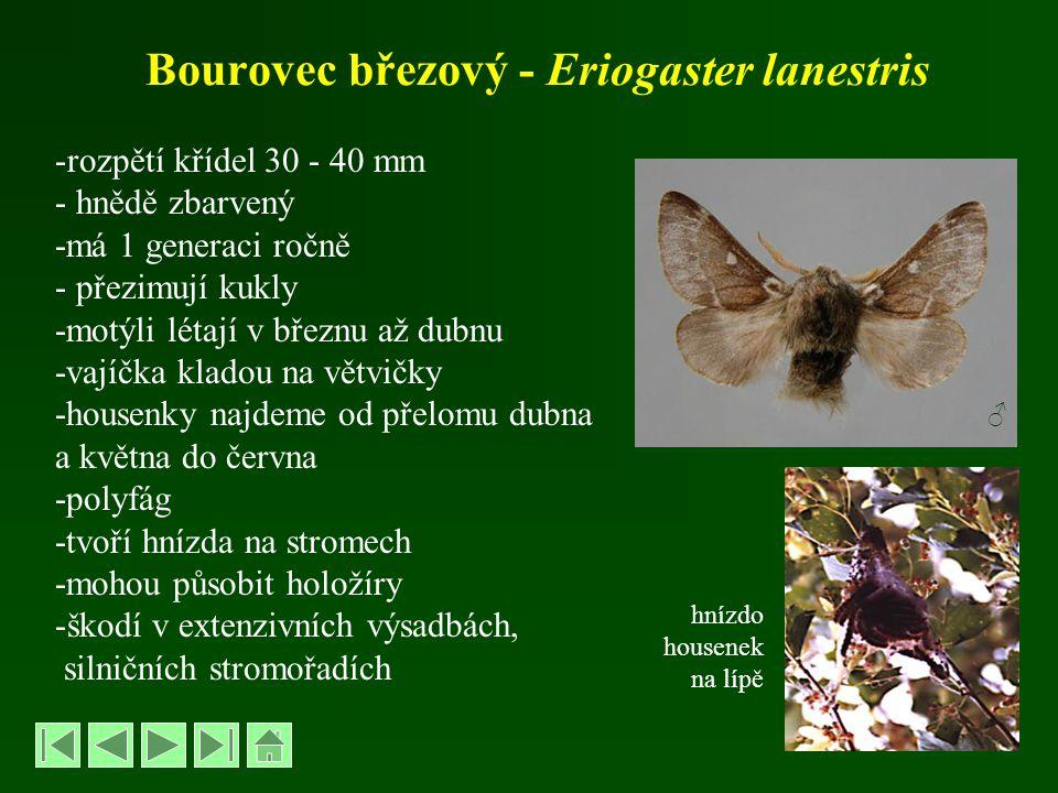Bourovec březový - Eriogaster lanestris -rozpětí křídel 30 - 40 mm - hnědě zbarvený -má 1 generaci ročně - přezimují kukly -motýli létají v březnu až