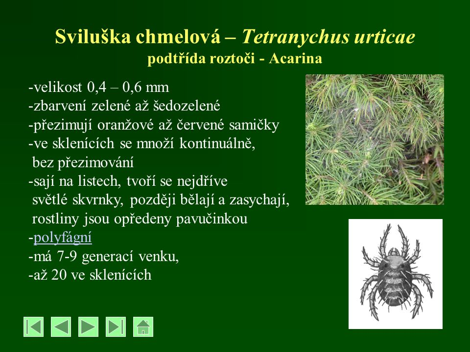 Sviluška chmelová – Tetranychus urticae podtřída roztoči - Acarina -velikost 0,4 – 0,6 mm -zbarvení zelené až šedozelené -přezimují oranžové až červen