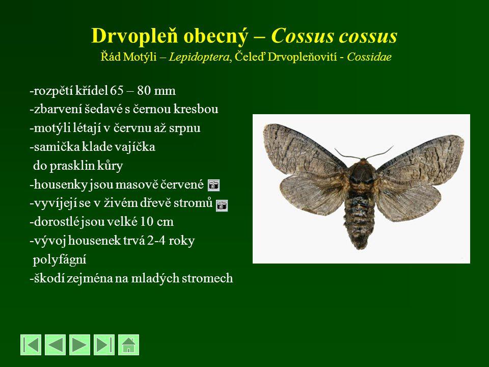 Drvopleň obecný – Cossus cossus Řád Motýli – Lepidoptera, Čeleď Drvopleňovití - Cossidae -rozpětí křídel 65 – 80 mm -zbarvení šedavé s černou kresbou