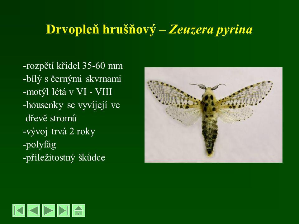 Drvopleň hrušňový – Zeuzera pyrina -rozpětí křídel 35-60 mm -bílý s černými skvrnami -motýl létá v VI - VIII -housenky se vyvíjejí ve dřevě stromů -vý