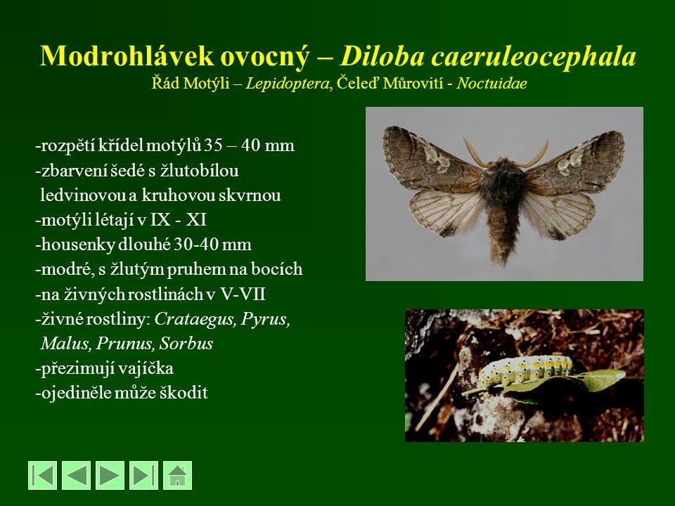 Modrohlávek ovocný – Diloba caeruleocephala Řád Motýli – Lepidoptera, Čeleď Můrovití - Noctuidae -rozpětí křídel motýlů 35 – 40 mm -zbarvení šedé s žl