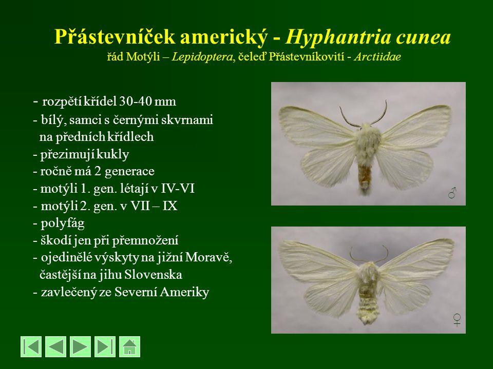 Přástevníček americký - Hyphantria cunea řád Motýli – Lepidoptera, čeleď Přástevníkovití - Arctiidae - rozpětí křídel 30-40 mm - bílý, samci s černými
