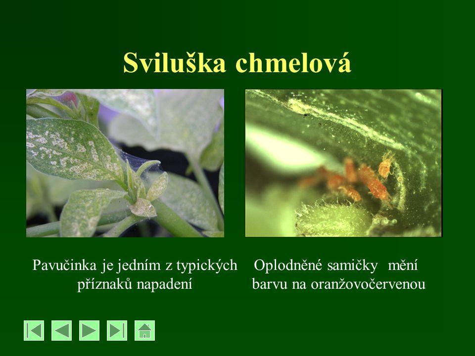 Sviluška chmelová Pavučinka je jedním z typických příznaků napadení Oplodněné samičky mění barvu na oranžovočervenou